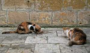 Cats having lunch in Malta